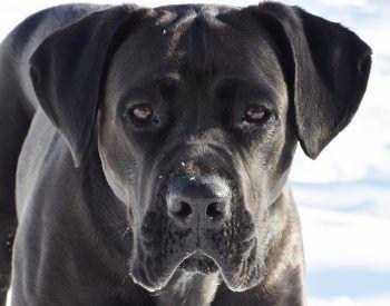 Ce qu'il faut savoir pour bien éduquer un cane corso